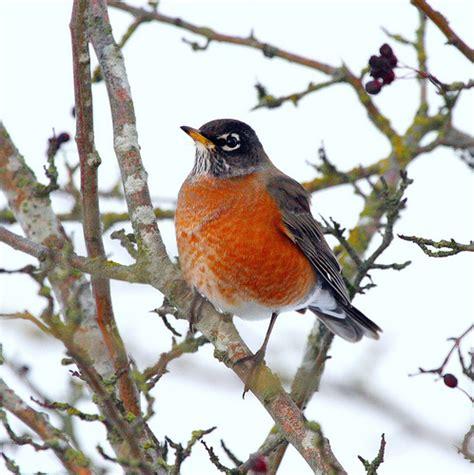 biodiversity of british columbia e fauna bc new bird