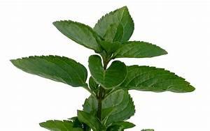 Kann Man Minze Einfrieren : englische gr ne minze pflanze mentha spicata v ~ Lizthompson.info Haus und Dekorationen