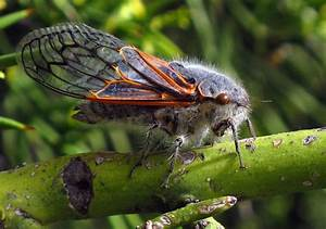 Cicadas Race to Catch Up With Their Evolving Endosymbionts