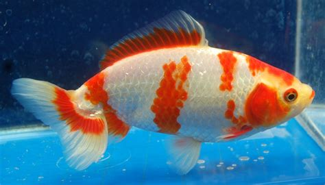 goldfish fab wakin side view goldfish aquarium fish