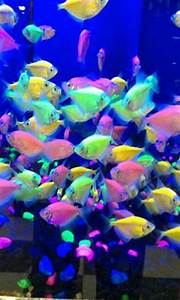 1000 images about Glo fish on Pinterest