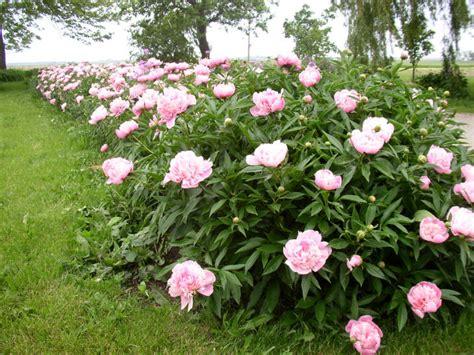 peony planting flower gallery