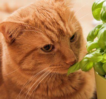 can cats eat cilantro