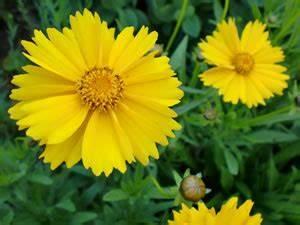 Blumen Winterhart Mehrjährig : m dchenauge coreopsis pflege anleitung und berwintern ~ Whattoseeinmadrid.com Haus und Dekorationen