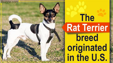 rat terrier mix breeds you probably never knew about