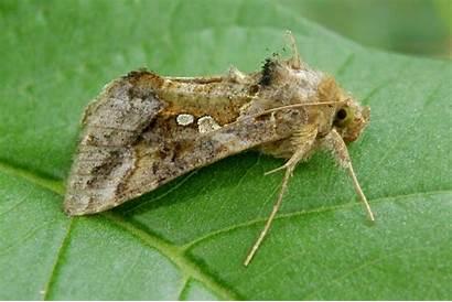 Noctuidae Pybio Biodiversidad Paraguay Chrysodeixis