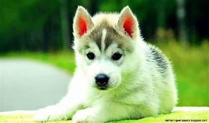 Husky Siberian Puppies Wallpapers