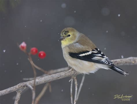 image gallery winter goldfinch