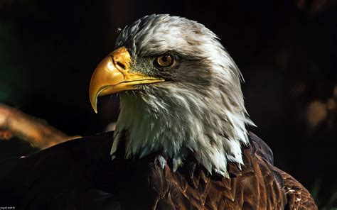Animated Eagle Wallpaper - nature animals wildlife birds eagle bald eagle