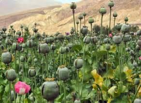 straw flowers ayurvedic gyan afim अफ म opium poppy papaver somniferum