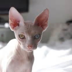 blue sphynx cat 17 best images about sphynx hairless cats on