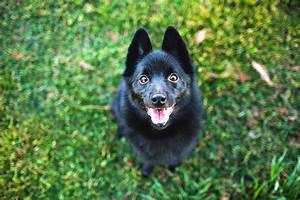 Schipperke Dog Breed Information, Pictures ...