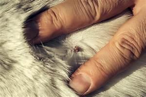 Comment Enlever Un Tique : comment rep rer et enlever une tique votre chat ~ Melissatoandfro.com Idées de Décoration
