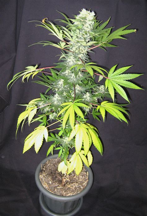 Wss Skunk Grow And Smoke Report Weed Seed Shop