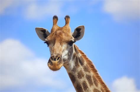 Giraffe Animal Pictures Wallpapers Download