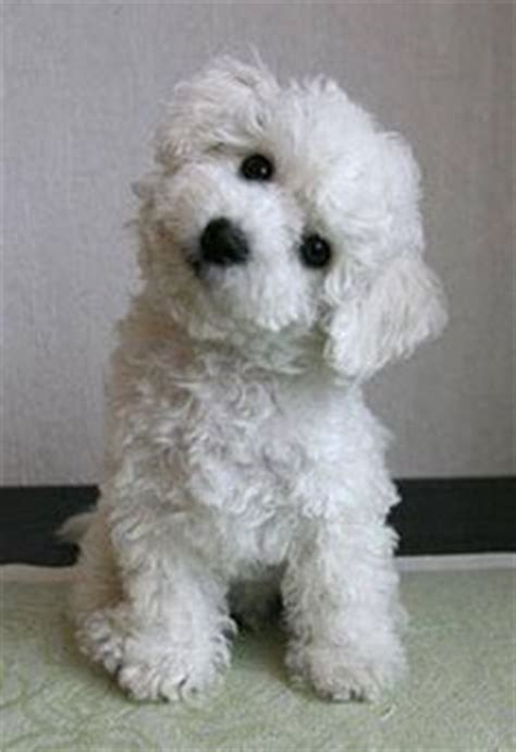 do jackie bichon shed 1000 images about bichon frise on bichon