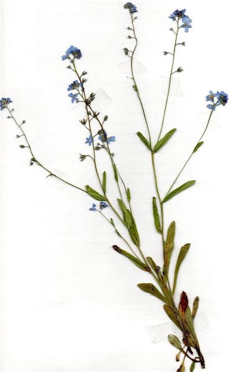 pflanze fuer herbarium bestimmungsproblem schule pflanzen