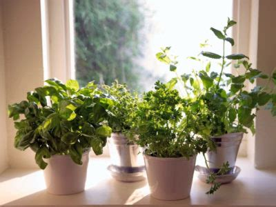 7 Herbs You Can Grow Indoors Yearround  Off The Grid News