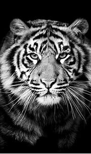 #5013759 #tiger, #animals, #4k, #5k, #hd, #monochrome, # ...
