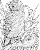 Owl Coloring Printable Perched Owls Adults Birds Realistic Supercoloring Coloringpages101 Colouring Bird Adult Sheets Cactus Spotted Mexican Getdrawings Drawing Version sketch template