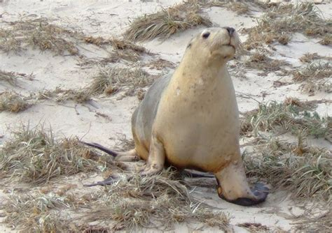 australian sea lions information images  wildlife