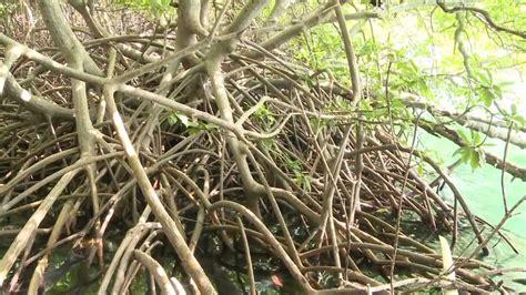 fr3 cuisine midi en martinique quot dans la mangrove en canoé plexiglass quot midi