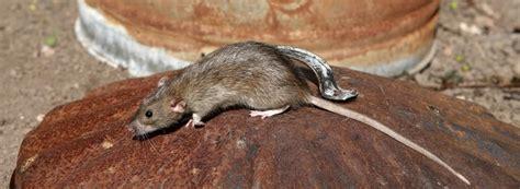 ratten im garten löcher tipps und mittel gegen ratten was wirklich hilft rentokil