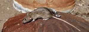 Was Tun Gegen Ratten : tipps und mittel gegen ratten und wie die bek mfpung funktioniert ~ A.2002-acura-tl-radio.info Haus und Dekorationen