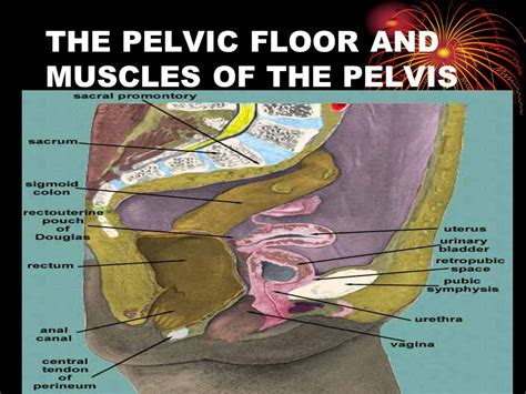 Muscles Of The Pelvic Floor by Pelvic Anatomy Ppt