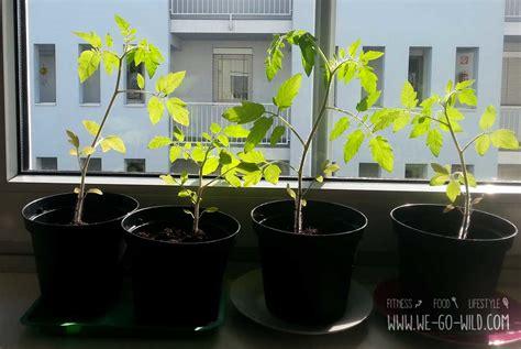 tomaten in der wohnung züchten tomaten selber ziehen im eierkarton gew 228 chshaus