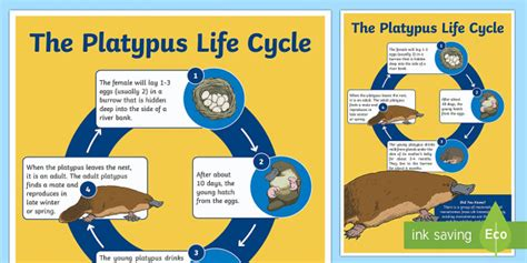 life cycle   platypus display poster twinkl