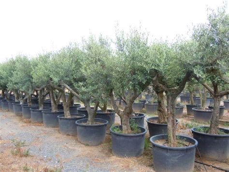 mature spanish arbequina olive tree for sale free