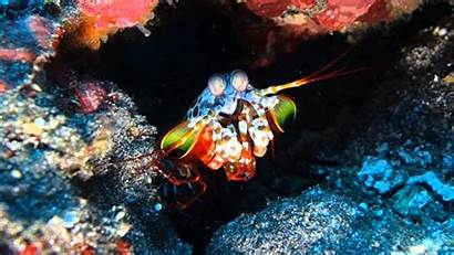Shrimp Mantis Desktop Wallpapers Backgrounds Resolution Baltana