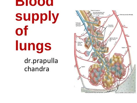 Essay On Pulmonary Circulation by Blood Supply Of Lungs Truly Useful Plus Nutritive