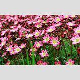 Purple Saxifrage   700 x 438 jpeg 94kB