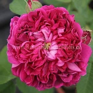 Rosen Düngen Im Frühjahr : rose du roi fleurs pourpres rosen online kaufen im rosenhof schultheis rosen online kaufen ~ Orissabook.com Haus und Dekorationen