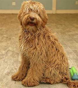 Ocean State labradoodles - Our Girls