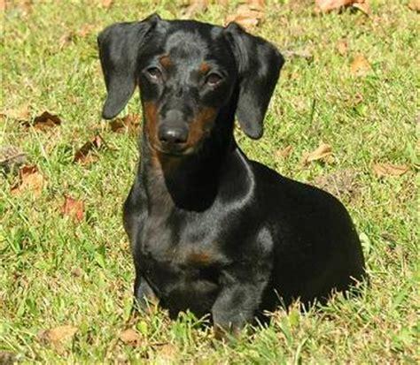 miniature dachshund facts info temperament puppies