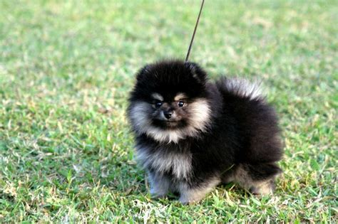 Black Pomeranian Stuffed Animal