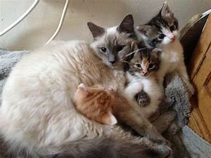 3/4 RAGDOLL KITTENS FLUFFY WHITE BLACK RED GINGER | St ...