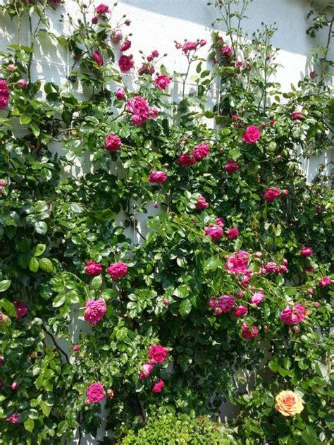 kletterrose laguna rosa laguna adr rose