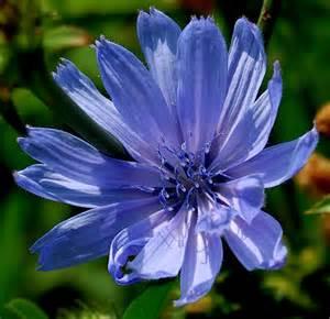West Virginia Wildflowers Blue