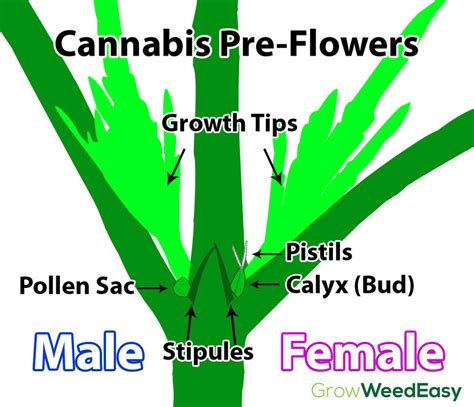 how to tell a from a flower is my plant make or female grasscity forums