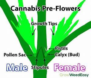 Cannabis Pre