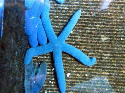 star starfish sea linckia linkia aquatics fish ellis