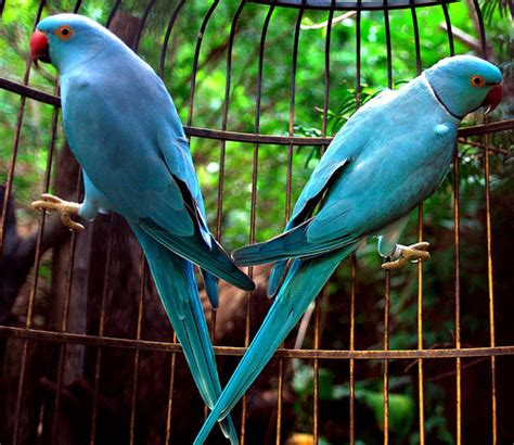 indian ringneck indian ringnecks flickr photo sharing