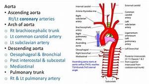 Pulmonary Trunk – applecool.info