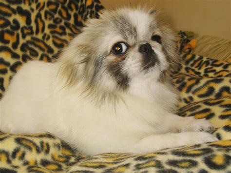 pekingese rescue located   midwest trivia sun yat sen
