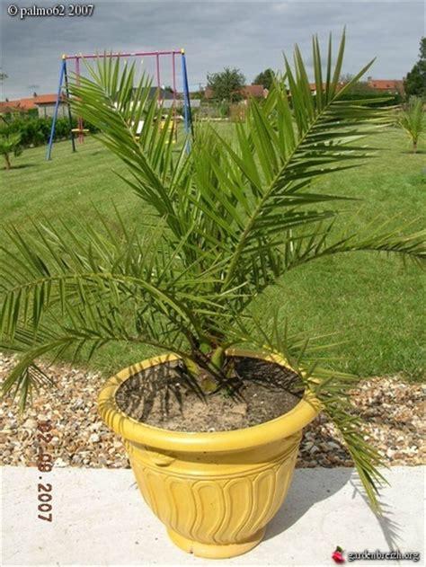 canariensis en pot canariensis en pot mon jardin et palmiers sept2007 les galeries photo de plantes de