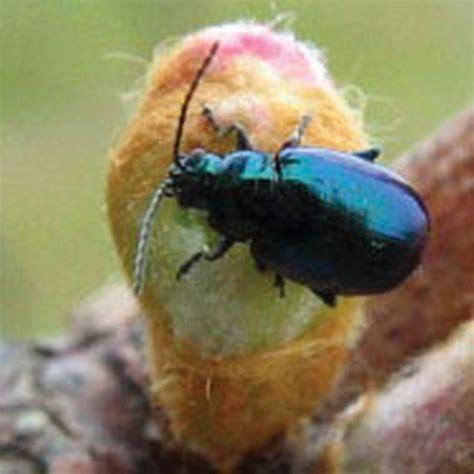 grape flea beetle integrated pest management